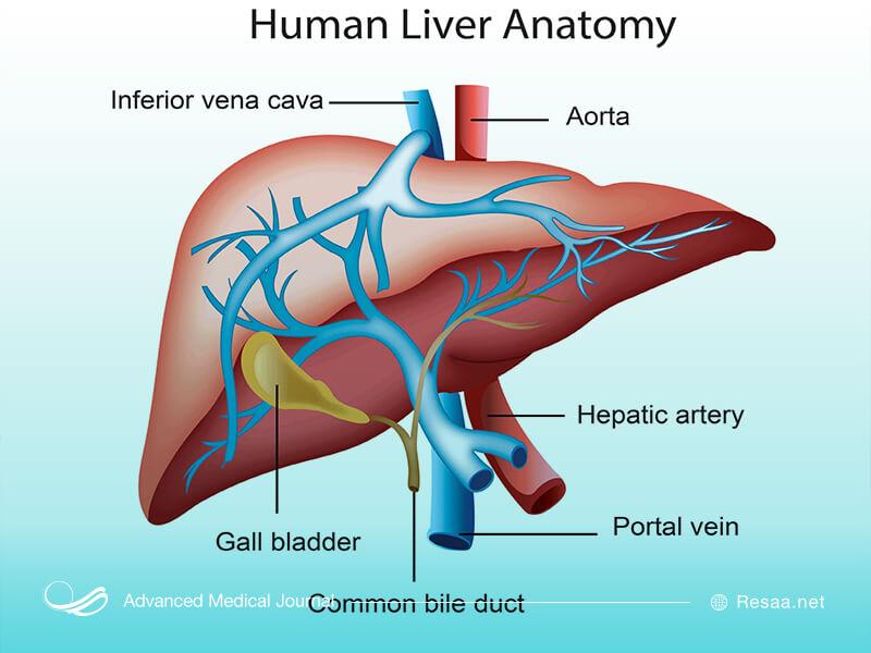 شناخت آناتومی کبد و جایگاه آن در بدن بسیار اهمیت دارد.